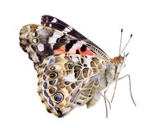 Free Painted Lady Landing On White Stock Photo - 4214020