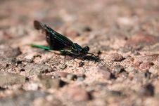Free Damselfly Stock Photo - 4214130