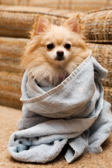Free Pomeranian Wrap Stock Photography - 4215262