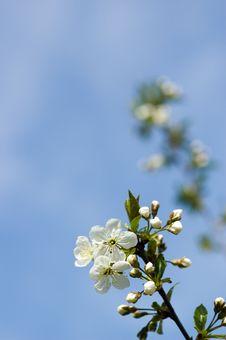 Free Flourishing Sour Cherry Royalty Free Stock Images - 4215479