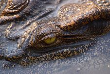 Free The Eye Of Crocodile Royalty Free Stock Photo - 4215965