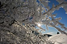 Branches Of Trees Snow-covered Royalty Free Stock Photo