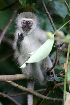 Free Vervet Monkey Royalty Free Stock Photography - 4217527