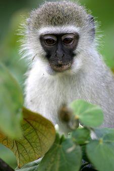 Free Vervet Monkey Royalty Free Stock Images - 4217609
