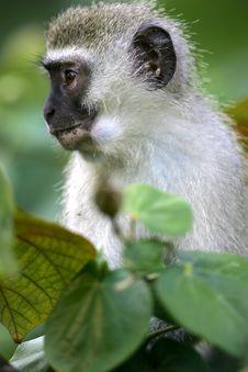 Free Vervet Monkey Stock Photos - 4217613