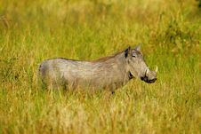Free African Warthog Royalty Free Stock Images - 4217869