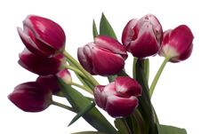 Free Red And White Tulips Stock Photo - 4217920