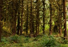 Free Temperate Rain Forest Royalty Free Stock Photo - 4219645