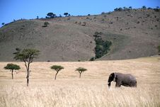 Free Landscape Of Elephant Walking Through The Grass Royalty Free Stock Images - 4219849