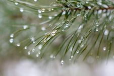 Free Branch Of A Pine With Drops. Stock Photo - 4219940