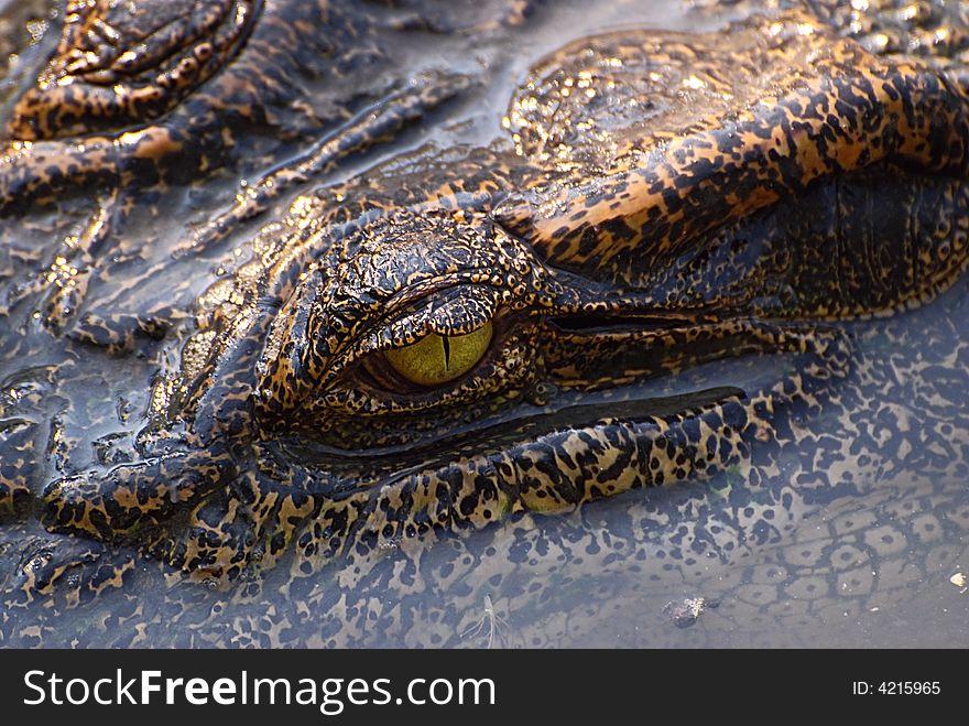 The eye of crocodile