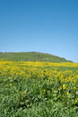Free Lush Field Of Canola Stock Image - 4228631