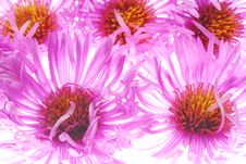 Free Pink Aster Royalty Free Stock Photo - 4220035