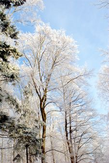Free Forest At Winter Time Stock Images - 4220834