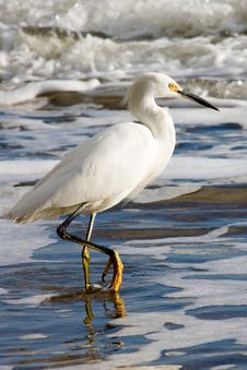 Free Snowy Egret Stock Photography - 4221602