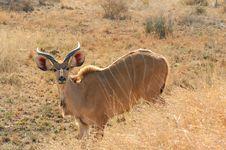 Free Kudu (Tragelaphus Strepsiceros) Royalty Free Stock Images - 4221689