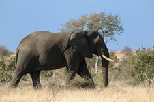 Free Elephant (Loxodonta Africana) Stock Photos - 4221723