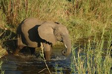 Free Elephant (Loxodonta Africana) Royalty Free Stock Image - 4221756