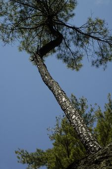 Tall Tree Abstract Royalty Free Stock Photography