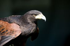 Free Hawk With Intense Stare Stock Image - 4221881