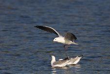 Free Seagulls Royalty Free Stock Photo - 4223285
