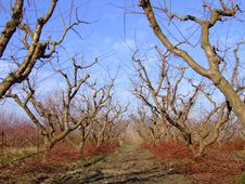 Free Peach Tree Royalty Free Stock Photo - 4223545