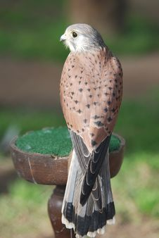 Free Falcon Stock Images - 4224904