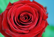 Free Red Rose Stock Photography - 4225202