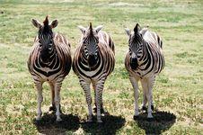 Free Zebra Royalty Free Stock Photography - 4225277