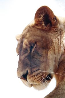 Free Lion Royalty Free Stock Photography - 4225427