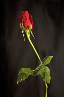Free A Red Rose With Green Leaves Royalty Free Stock Photos - 4228658