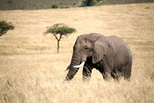 Free Elephant Walking Through The Grass Stock Photo - 4229590