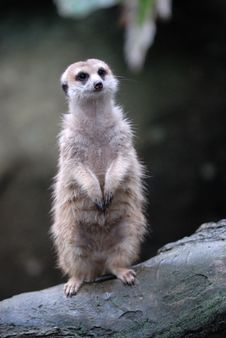 Free Meerkat, Singapore Zoological Garden Stock Photos - 4229803
