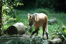 Free Fox, Singapore Zoological Garden Royalty Free Stock Photography - 4229827
