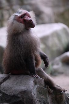 Free Hamadrya Baboon Royalty Free Stock Photo - 4229915