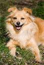 Free Happy Golden Retriever Stock Photography - 4231742