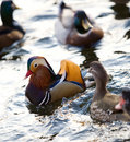 Free Colourful Chinese Duck Royalty Free Stock Image - 4232126