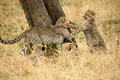 Free Cheetah Cubs At Play In The Grass Royalty Free Stock Photo - 4238895