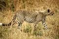 Free Cheetah Cub Walking Through The Grass Royalty Free Stock Images - 4239089