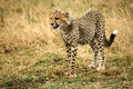 Free Cheetah Cub Standing In The Grass Royalty Free Stock Photo - 4239935