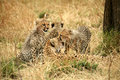 Free Cheetah Cubs Together With Mother Royalty Free Stock Image - 4239936