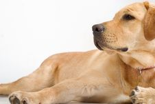 Free Labrador Retriver Royalty Free Stock Photography - 4230267