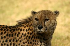 Free Scarred Cheetah Basking In The Sun Royalty Free Stock Photo - 4230595