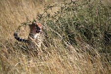 Free Cheetah In The Grass Stock Images - 4230724