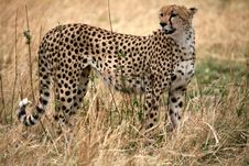 Free Cheetah Standing In The Grass Royalty Free Stock Image - 4230946