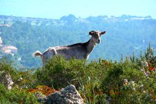 Free A Mountain Goat Stock Photography - 4231162