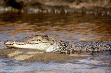 Free Croc On A Rock IIII Royalty Free Stock Images - 4231509