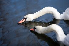 Two Lovely Swans Stock Photo