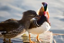 Colourful Chinese Duck Stock Images