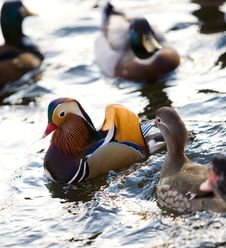 Colourful Chinese Duck Royalty Free Stock Image